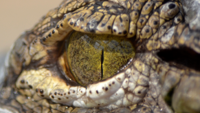 Crocodile eye