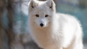 Arctic fox by Eric Kilby
