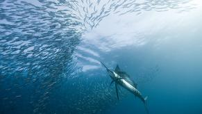 Sailfish by jidanchaomian