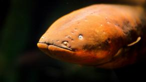 Electric Eel by Josh More