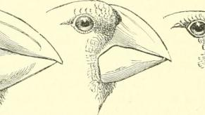 Drawings of a few of Darwin Finch beaks.