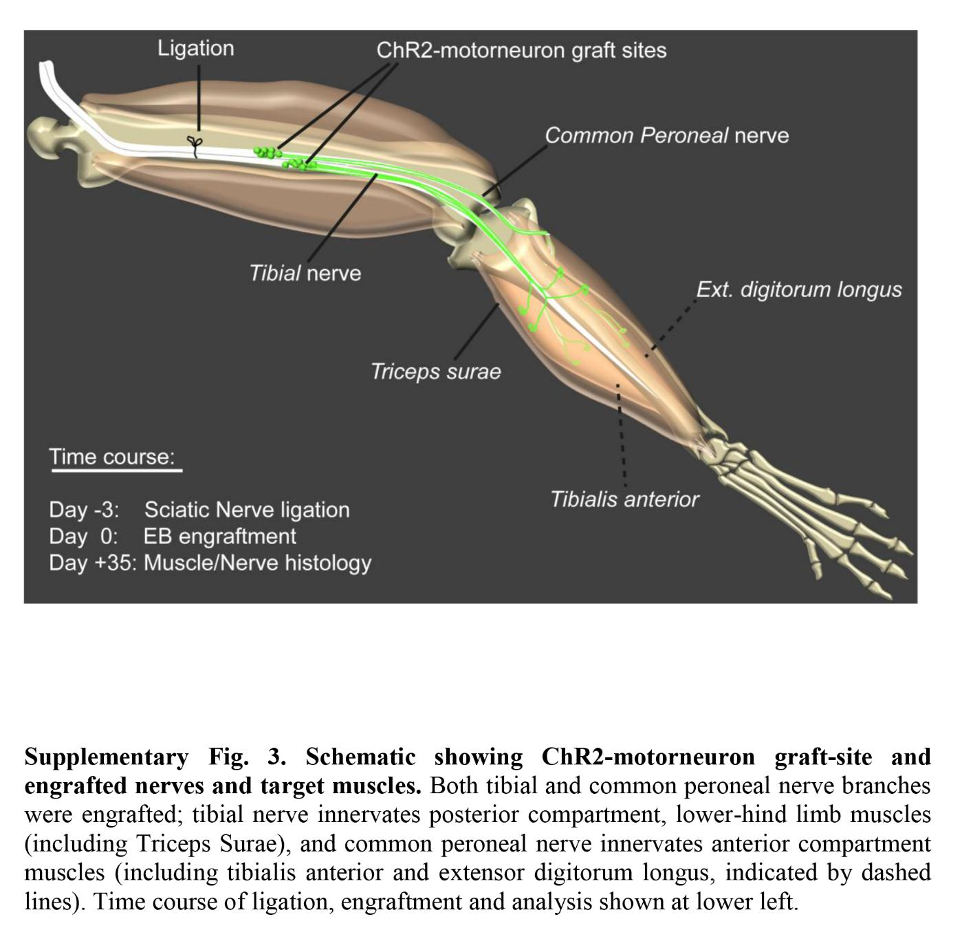 Lights motor neurons and muscle action science in the classroom sup2g ccuart Images